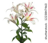 branch delicate lilies isolated ... | Shutterstock . vector #1223847463