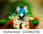 peacock mantis shrimp | Shutterstock . vector #1223862736
