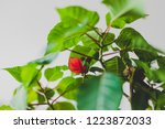close up of pointsettia plant... | Shutterstock . vector #1223872033