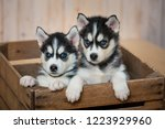 Stock photo  the two little puppies of the huskies sit in the drawer and look out of it 1223929960