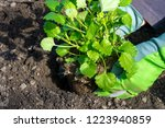 planting a herb garden with... | Shutterstock . vector #1223940859