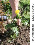 female hands pull out weeds... | Shutterstock . vector #1223941450