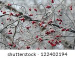 Winter Background  Red Berries...