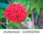 balinese ixora  red spike... | Shutterstock . vector #1224032503