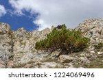 solitary pinus mugo  mountain...   Shutterstock . vector #1224069496
