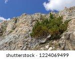 solitary pinus mugo  mountain...   Shutterstock . vector #1224069499