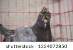 a young pigeon with avian pox... | Shutterstock . vector #1224072850