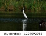 A Great Egret Reflects In The...