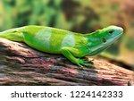 the fiji banded iguana lives on ...   Shutterstock . vector #1224142333