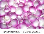 Stock photo top view beautiful petals of roses in purple and white colors idea for valentine s day birthday 1224190213