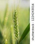 wheat in the farm | Shutterstock . vector #1224243016