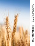 wheat in the farm | Shutterstock . vector #1224243040