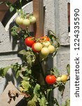 red   green cherry tomatoes | Shutterstock . vector #1224335590