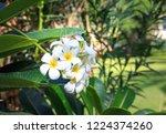 frangipani flower on the...   Shutterstock . vector #1224374260
