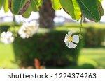 frangipani flower on the...   Shutterstock . vector #1224374263