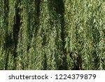 weeping willow background  ...   Shutterstock . vector #1224379879