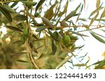 green olive tree branch with... | Shutterstock . vector #1224441493