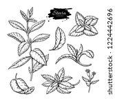 stevia  drawing. herbal sketch... | Shutterstock . vector #1224442696
