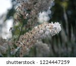 long flowering stem of white... | Shutterstock . vector #1224447259