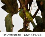 blue throated barbet west... | Shutterstock . vector #1224454786
