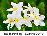 beautiful white yellow plumeria ...   Shutterstock . vector #1224460393