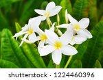 beautiful white yellow plumeria ...   Shutterstock . vector #1224460396