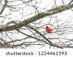 one red northern cardinal bird  ...