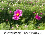 these flowers are cosmos. ... | Shutterstock . vector #1224490870