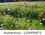 these flowers are cosmos. ... | Shutterstock . vector #1224490873