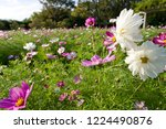 these flowers are cosmos. ... | Shutterstock . vector #1224490876