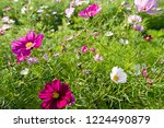 these flowers are cosmos. ... | Shutterstock . vector #1224490879