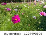 these flowers are cosmos. ... | Shutterstock . vector #1224490906