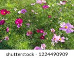 these flowers are cosmos. ... | Shutterstock . vector #1224490909