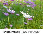 these flowers are cosmos. ... | Shutterstock . vector #1224490930