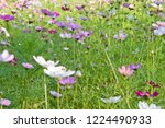 these flowers are cosmos. ... | Shutterstock . vector #1224490933