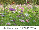 these flowers are cosmos. ... | Shutterstock . vector #1224490936