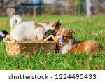 cute elo puppies gnaw at a... | Shutterstock . vector #1224495433