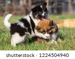 picture of two elo puppies who... | Shutterstock . vector #1224504940
