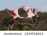Roseate Spoonbills In Dead Tree