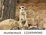 lonely suricata standing and... | Shutterstock . vector #1224549040