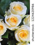 natural roses delicate yellow...   Shutterstock . vector #1224620986