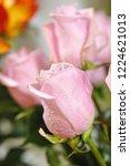 natural roses delicate violet...   Shutterstock . vector #1224621013