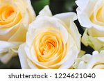 natural roses delicate yellow...   Shutterstock . vector #1224621040