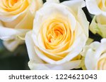 natural roses delicate yellow...   Shutterstock . vector #1224621043