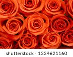 natural roses delicate red with ...   Shutterstock . vector #1224621160