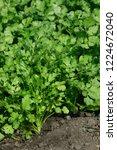 close up of coriander plant... | Shutterstock . vector #1224672040