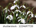 big group of white graceful... | Shutterstock . vector #1224697720
