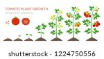 tomato plant growth stages... | Shutterstock .eps vector #1224750556