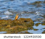 common kingfisher perched on... | Shutterstock . vector #1224920530