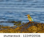 common kingfisher perched on... | Shutterstock . vector #1224920536